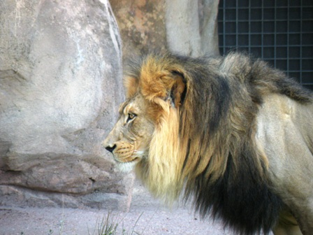 Lion at Denver Zoo