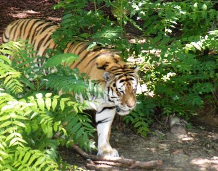 Tiger at Denver Zoo