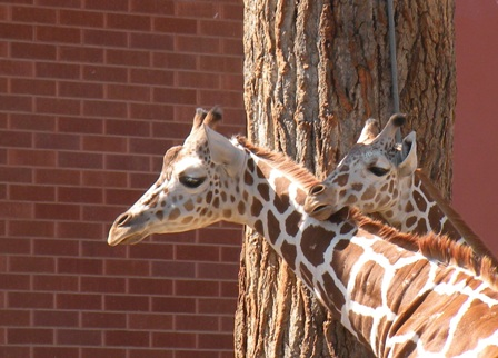 Giraffes at the Denver Zoo