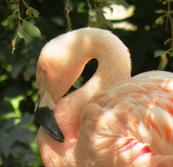 Sleeping Flamingo at the Denver Zoo