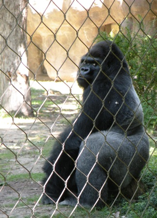 Gorilla behind the wire at the Denver Zoo