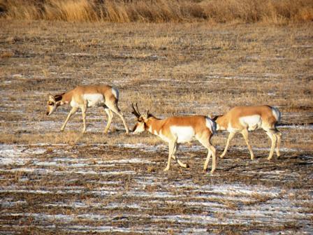 Antelope Buck in Nunn Colorado