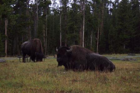 Buffalo in camp