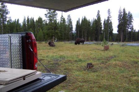 Buffalo in Camp II