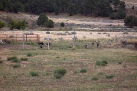 Wild Wyoming Turkeys