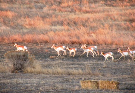 antelope herd on our pasture