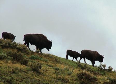 Hayden Valley Buffalo