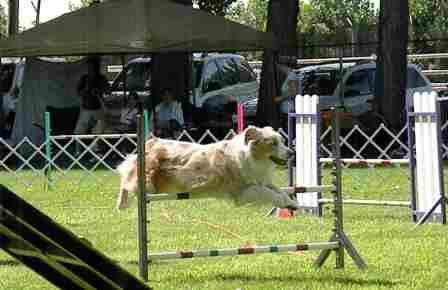 Red Aussie doing Agility
