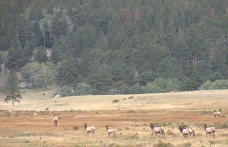 Small bunch of bugling elk