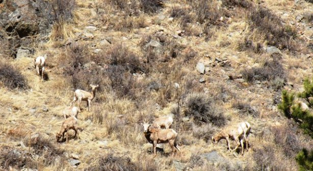 Big Horns on Poudre Canyon Motorcycle Tour