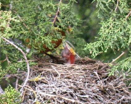 Robin Chicks in May
