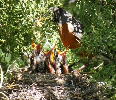 Hungery Robin Chicks