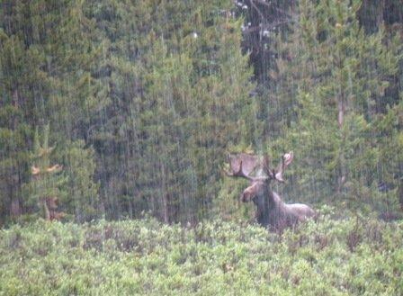 Big Colorado Moose in the rain