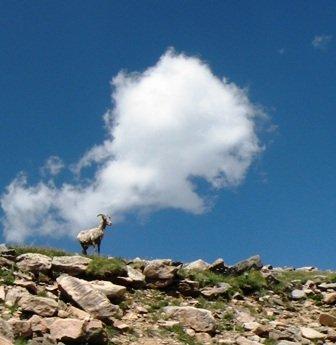 Rocky Mtn Bighorn Sheep on Mt Evans