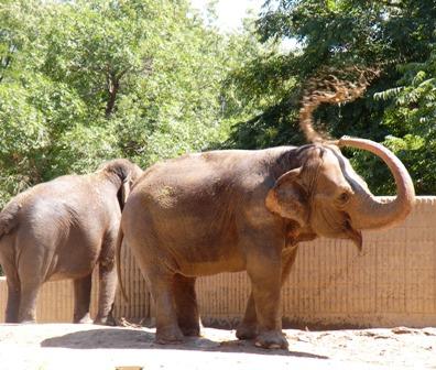 Elephant Mud Bath at the Denver Zoo