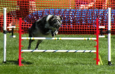 Australian Shepherd Taking an agility jump