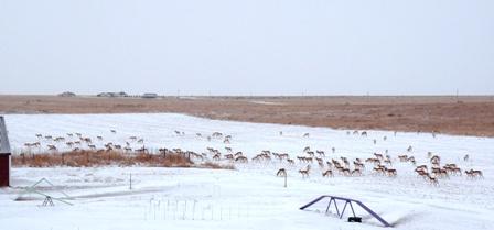 Nunn Antelope in one large herd