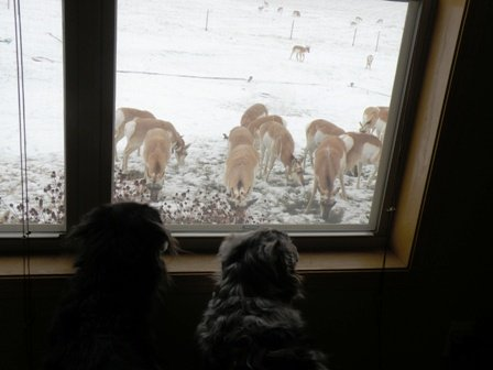 Dogs watching Antelope in the Yard